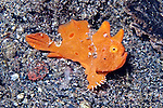 Antennarius coccineus, Freckled frogfish, juvenile, Indonesia