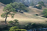 Pinus trees growing on the gently sloping hillsides of the Suizen-ji garden, Kumamoto, Japan