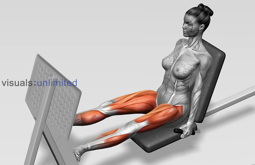 The muscles involved in lever leg presses. The agonist (active) muscles and the stabilizing muscles are highlighted. Royalty Free