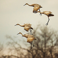 """Sandhill Crane Landing""  Wisconsin River  Aldo Leopold Foundation 