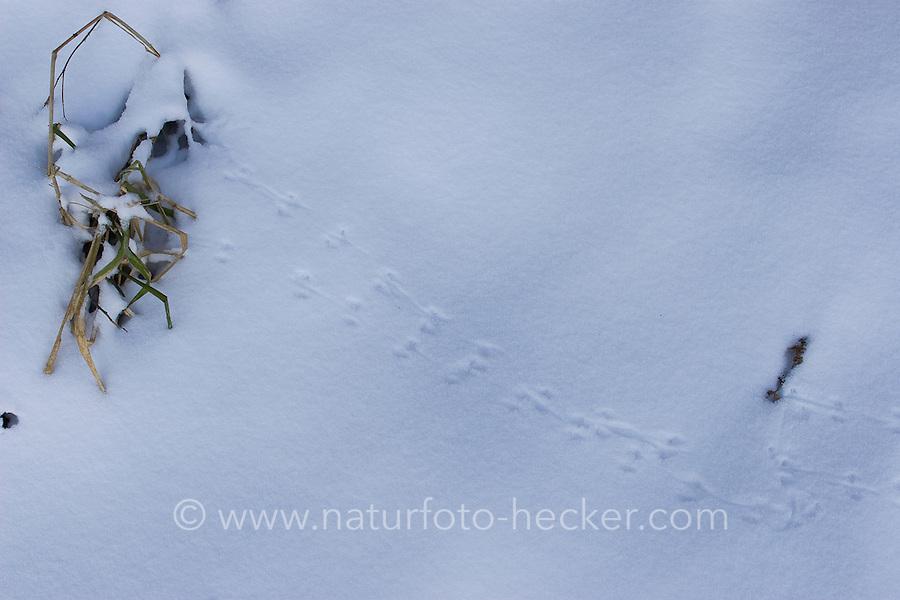 Spur einer Maus im Schnee, Mäusespur, Mäuse-Spur