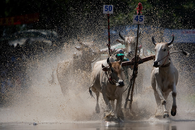 "Farmers race bulls during the annual ""Dua Bo - Cow Racing"" competition in Tri Ton District in southern Vietnam near the Cambodian border on September 27, 2008.<br />