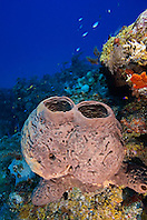 Brown Tube Sponge, Agelas conifera, West End, Grand Bahamas, Atlantic Ocean