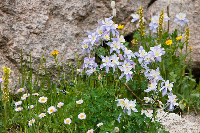 wildflowers, assorted with Colorado columbine dominant, Aquilegia coerulea, rock, nature, subalpine, summer, August, morning, Rocky Mountain National Park, Colorado, USA