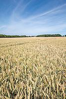 Wheat in ear - Norfolk, July