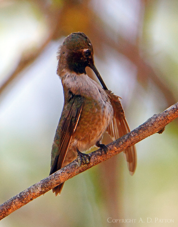 Adult male black-chinned hummingbird preening