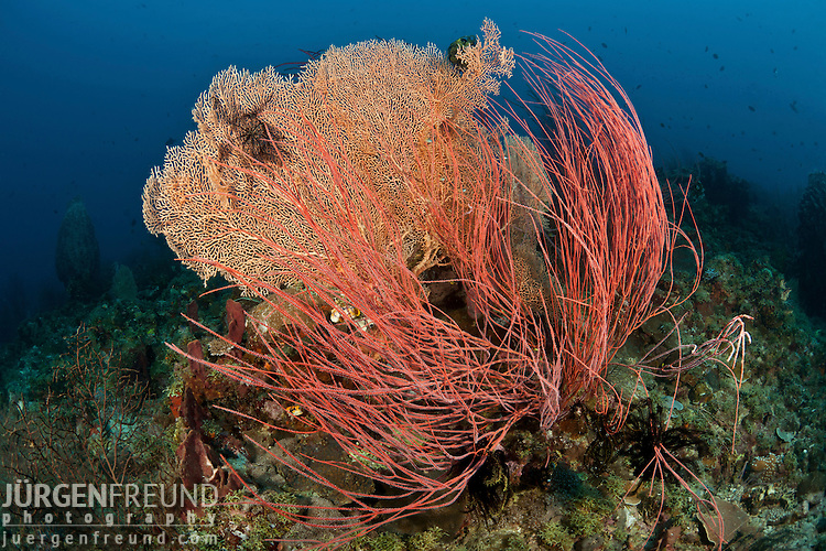 Red whip corals or sea whips (Ellisella sp.)