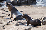 La Jolla, California; a California Sea Lion pup and its mother sitting on the rocky shoreline  in late afternoon sunlight