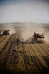 Farmworkers harvest corn silage on Brannan Island, October 29, 2009.