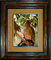 Eurasian Eagle Owl (Bubo bubo)Image Size:  11&quot; x 14&quot;<br />
