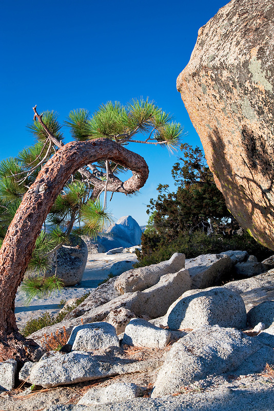 Half Dome seen through twisted tree. Yosemite National Park, California