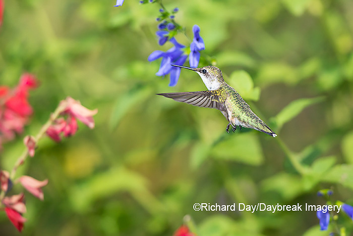 01162-15213 Ruby-throated Hummingbird (Archilochus colubris) at Blue Ensign Salvia (Salvia guaranitica ' Blue Ensign') in Marion County, IL