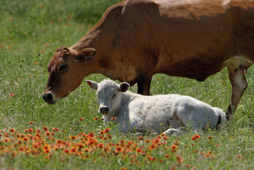 Mom and calve in a field of firewheels, Central Texas.