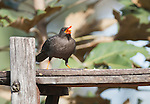 Great thrush, Turdus fuscater, visits a feeder at San Jorge Eco-Lodge, Quito, Ecuador