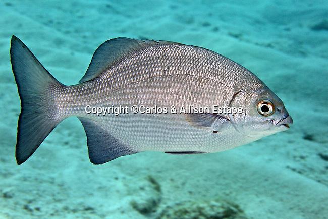 Kyphosus cinerascens, Topsail seachub, Florida Keys