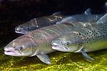 Altantic Salmon females at base of Dam, 3 shot.