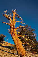 730252088 an ancient bristlecone pine pinus longeava clings to a rugged existence along a ridgeline at 9000 feet in the bristlecone pine protected area of the white mountains in kern county california