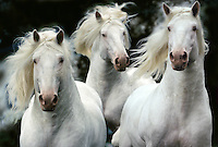 Close-up of American White Draft Horses running at us with maes flowing wildly.