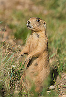 673030123 a wild utah prairie dog cynomys parvidens feeds and rests near its den in bryce canyon national park utah united states