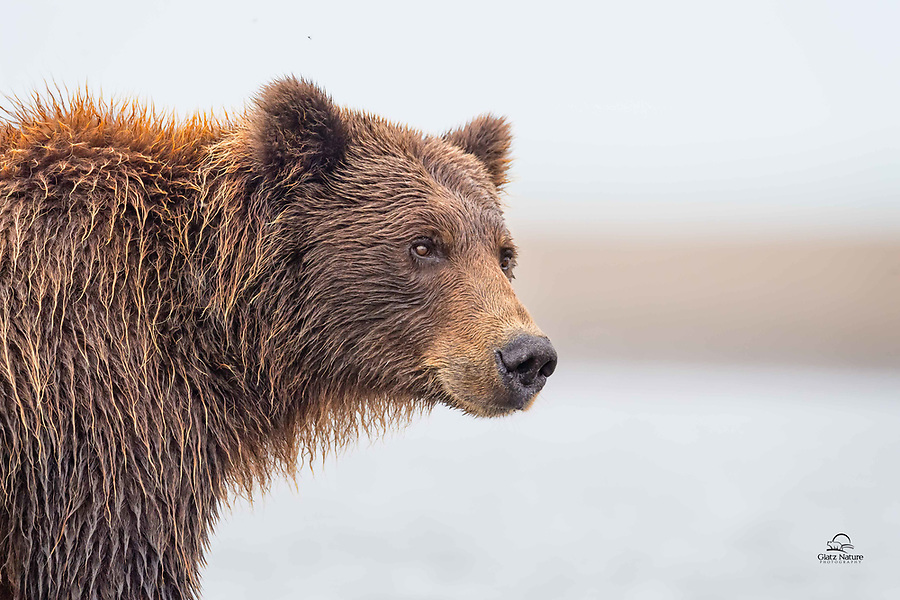 Mother Bear was a successful fisher.  This is essential for a Brown Bear approaching winter hibernation.  If this bear doesn't catch and eat enough fish to sustain her and her two cubs over the winter, the family won't make it.  Looks like she did just fine this year.