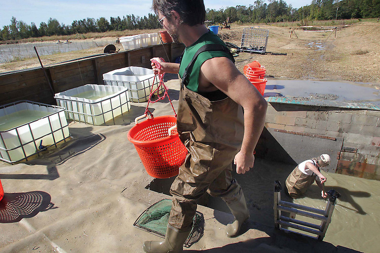 Hayes Linsey brings up a basket of prawns for weighing from the rinsing pit as Joe Wright continues to rinse and fill baskets.