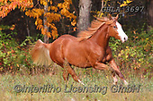 Bob, ANIMALS, REALISTISCHE TIERE, ANIMALES REALISTICOS, horses, photos+++++,GBLA3697,#a#, EVERYDAY