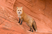 Red Fox standing on some red rocks - CA