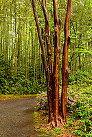 Landscape of path with azaleas in Magnolia Plantation leading to bamboo stand