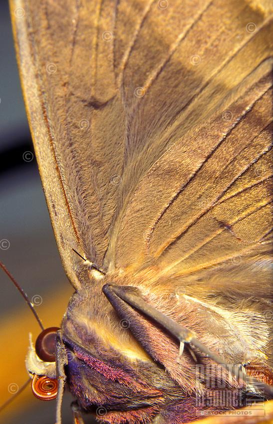 Black Witch Moth Ascalapha odorata, noctural, alien, rolled mouth, eye, leg muscles, short black bar (frenulum) makes front back wings work together