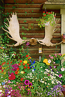 Moose Antlers and flowers, log cabin gift shop, Native village, Eagle, Alaska