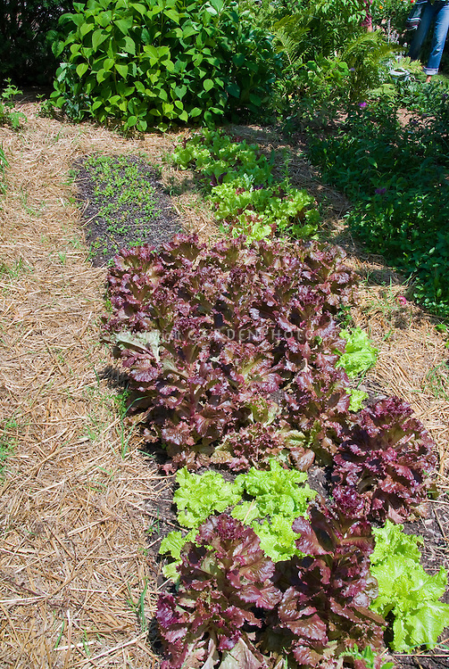 Vegetable garden mulched with straw