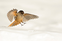 Siberian Jay landing in the snow (Perisoreus infaustus), Finland, March 2015