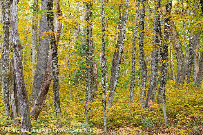 Hardwood forest during the autumn months in the area of the old Passaconaway Settlement along the Kancamagus Highway (route 112) which is one of New England's scenic byways in the White Mountains, New Hampshire USA. The Passaconaway settlement was part of the Swift River Railroad, which was a logging railroad in operation from 1906 - 1916.