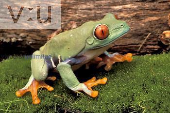 Red-eyed Treefrog ,Agalychnis callidryas,, Central America.
