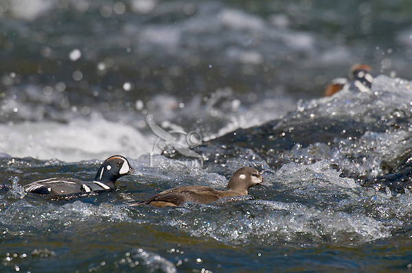 Harlequin Duck (Histrionicus histrionicus) male courting female on fast flowing mountain stream during spring mating season.  Western U.S.  Spring.