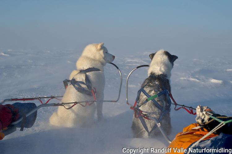 To grønlandshunder snur ryggen til ruskeværet på Finnmarksvidda. ---- Two greenland dogs turning their backs to the wind.