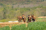 Four team mules plowing.