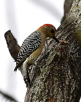 CALI – COLOMBIA - 25-11-2016: Pajaro Carpintero Habado, especie de ave presente en el norte de Cali. / Habado Woodpecker, bird species present in north of Cali Photo: VizzorImage / Luis Ramirez / Staff.