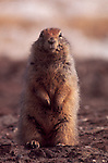 Alaska, Arctic ground squirrel, North Slope, Prudhoe Bay, spring, territory,tundra, Spermophilus parryii.