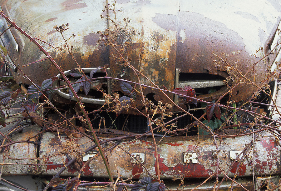 Old Ford pickup overgrown with blackberry bushes, Veta, Washington
