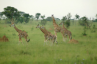 Rothschild Giraffes in Murcheson Falls National Park in northwestern Uganda. (Rick D'Elia)