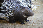 African porcupines