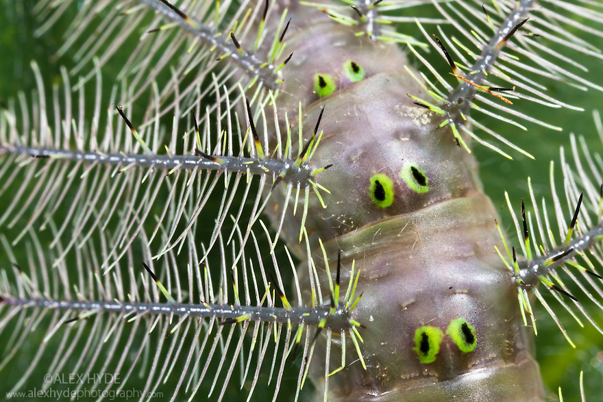 Close up grey caterpillar covered in defensive spines. Maroantsetra, Northeast Madagascar