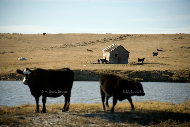 Cattle stand by a reservoir and old farm buildings on the Coffee Ranch outside Sumatra, Montana, USA.