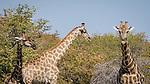 Three Giraffe Approach A Waterhole.
