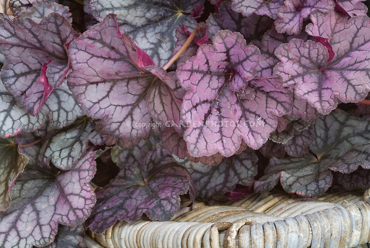 Heuchera 'Guardian Angel', purple pink veined leaf foliage plant, silver
