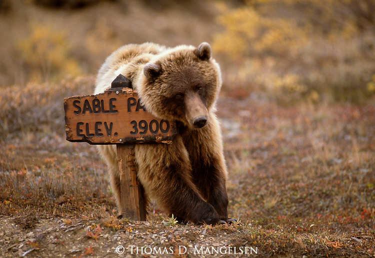 A young grizzly bear takes advantage of an elevation sign in Denali National Park.