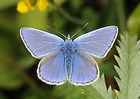 Common Blue Polyommatus icarus Wingspan 32mm. Britain's commonest and most widespread blue butterfly. Adult male has blue upperwings; female's are usually brown (sometimes tinged blue in the middle) with submarginal orange spots. Underwings of both sexes are grey-brown with white-ringed dark spots and orange submarginal spots on hindwing. Flies April–September in two or three successive broods. Larva feeds on Bird's-foot Trefoil and related plants. Common in grassy places where larval foodplant grows.