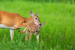 White-tailed doe and her fawn in a summer meadow.
