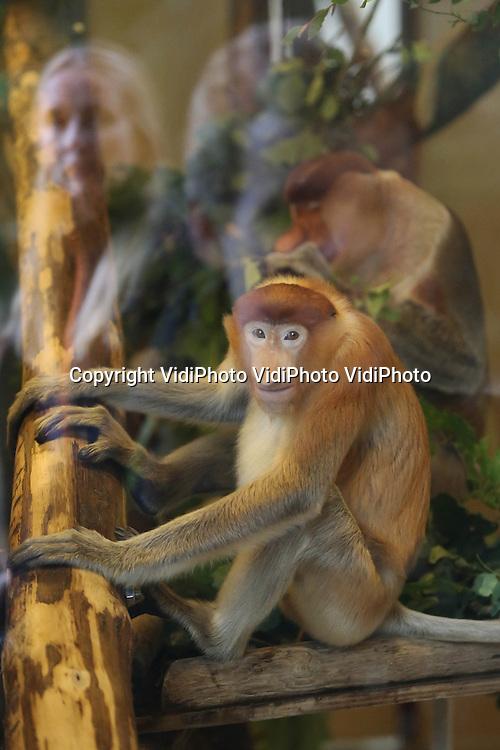 Foto: VidiPhoto<br /> <br /> APELDOORN - Neusapen zijn in Apenheul in Apeldoorn geen lang leven beschoren. Voor de derde keer in nog geen drie jaar tijd is er opnieuw een neusaap overleden. Ditmaal de driejarige Goalie (foto), die pas sinds december in het apenpark verblijft. De aap was niet ziek en daarom komt het overlijden van Goalie onverwacht, zo maakte Apenheul dinsdag bekend. Samen met Jeff kwam Goalie in september naar Apenheul om de eenzame neusaap Bagik gezelschap te houden. Die verloor in de zomer van 2012 maatje Bena door een hartkwaal en begin 2013 Julau aan leverfalen.